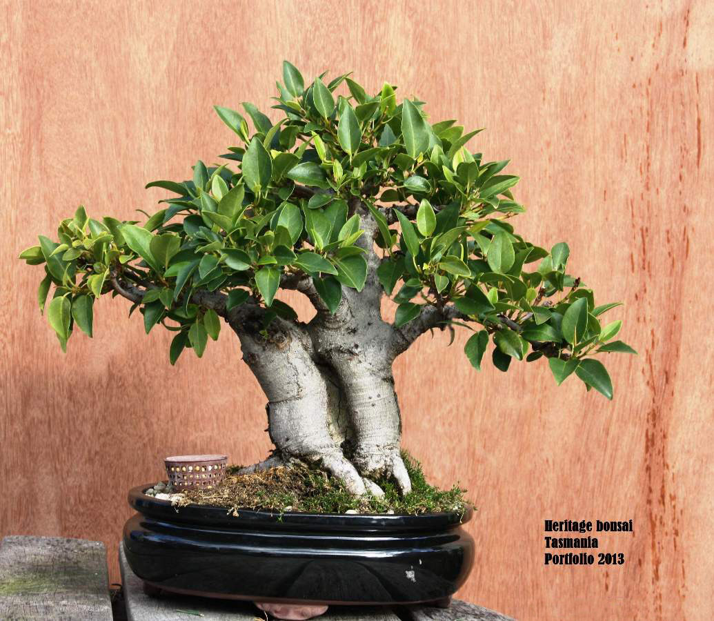 bonsai-heritage-2