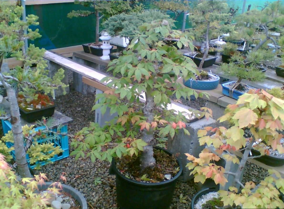outdoor-trees-bonsai