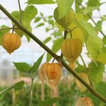 A unique plant to grow in your greenhouse, the Cape Gooseberry